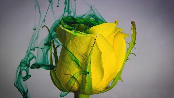 دانلود فوتیج گل رز و جوهر Rose And Ink footage