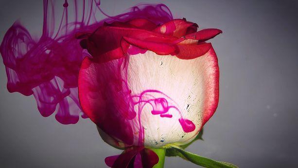 دانلود فوتیج گل رز و جوهر