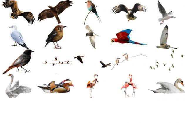 دانلود رایگان 45 تصویر زمینه شفاف PNG از پرندگان واقعی